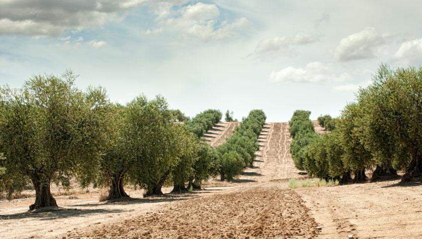 arbol-fertil-olivo