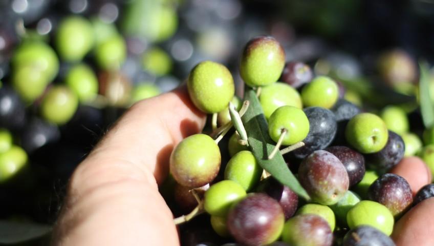 fresh-olives-848x480