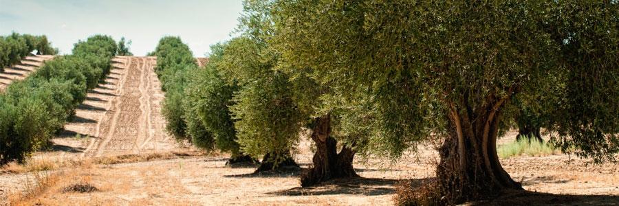 Asesoramiento técnico en olivar