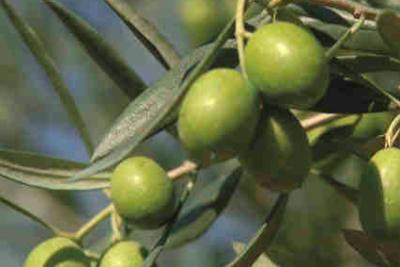Recomendaciones de otoño para el olivar