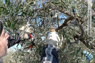 Poda de olivo