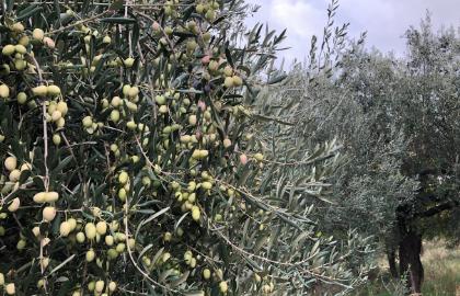 Tratamiento-olivar-otoño